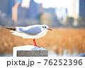柵上のユリカモメ(冬羽)横向き全身:都市背景 76252396