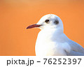ユリカモメ(冬羽)横顔/頭部~胸部アップ 76252397