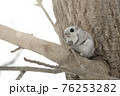 モモンガ 北海道 エゾモモンガ 76253282