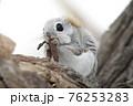 モモンガ 北海道 エゾモモンガ 76253283