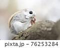 モモンガ 北海道 エゾモモンガ 76253284