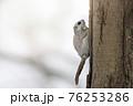 モモンガ 北海道 エゾモモンガ 76253286