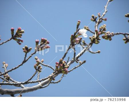 咲き始めた桜の花 76253998