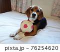 おもちゃのサッカーボールとビーグルの子犬 76254620