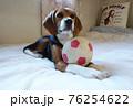 おもちゃのサッカーボールとビーグルの子犬 76254622