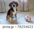 おもちゃのサッカーボールとビーグルの子犬お座り 76254623