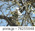 咲き始めた山桜の白い花 76255048