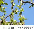 花梨の花がもうすぐ咲き始めます 76255537