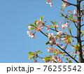 もう5分咲きの山桜の白い花 76255542