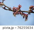 二年続けて豊作が期待できる加賀梅の花が終わり実になる所 76255634