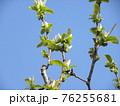 花梨の花がもうすぐ咲き始めます 76255681