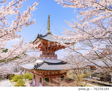 壺阪寺 満開の桜大仏  76256184