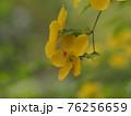 鮮やかな黄色のヤマブキ 76256659