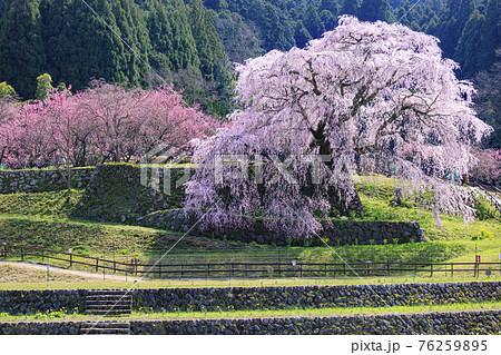 又兵衛桜 満開の滝桜 76259895