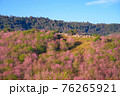 Wild Himakayan cherry trees or Cherry blossom field on phu lom lo mountain of Phu Hin Rong Kla national park in Loei, Thailand 76265921