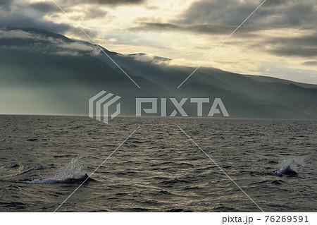 知床の海を泳ぐイシイルカ 76269591