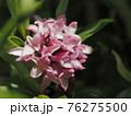 早春に咲く沈丁花 76275500