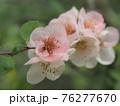 美しいピンクの木瓜の花 76277670