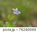 淡い紫のタチツボスミレ 76280099