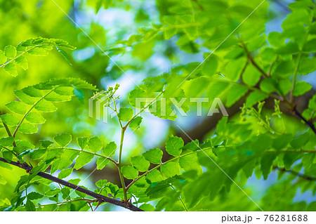 山椒の葉 76281688