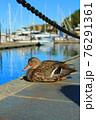 海沿いで、のんびりと羽を休める鴨(カナダ ヴィクトリア) 76291361