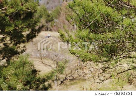 芝生に座る人をバックに公園に広がる松の木々に寄って撮影 76293851