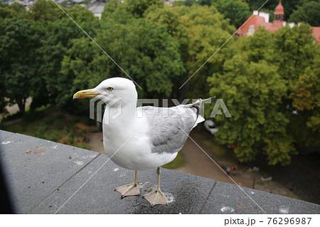 エストニアの首都タリン 旧市街の建物まで飛んでくる水かきの両足を地につけた姿が印象的なかもめ 76296987