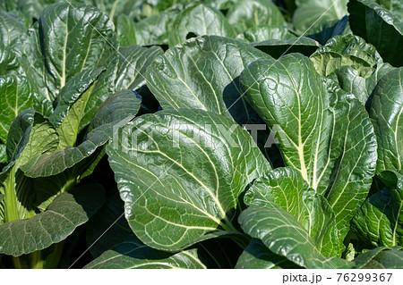 小松菜の栽培 (11月) 農業 家庭菜園 76299367