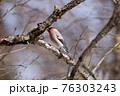 枝にとまる鷽 76303243