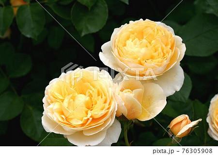 支え合う3輪の薔薇バフビューティー 76305908