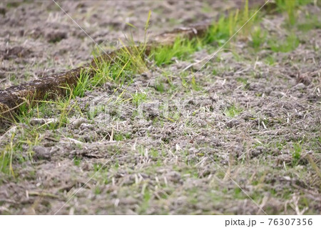 田んぼのタヒバリ 餌を探してキョロキョロ 76307356