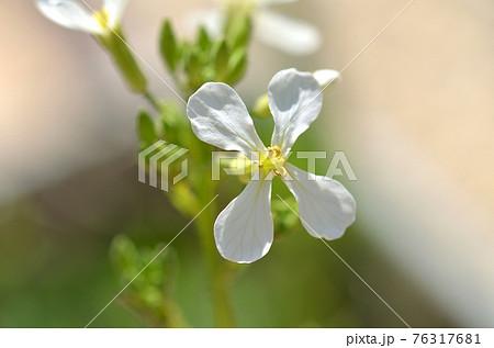 二十日大根の白い花一輪のアップ 76317681