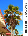 ドールプランテーションの立派なヤシの木(アメリカ合衆国 ハワイ州) 76328599