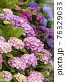 紫陽花 76329033