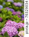 紫陽花 76329034
