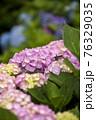 紫陽花 76329035