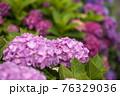 紫陽花 76329036