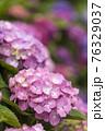 紫陽花 76329037