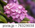 紫陽花 76329038