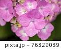 紫陽花 76329039