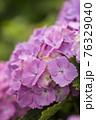 紫陽花 76329040