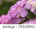 紫陽花 76329041