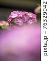 紫陽花 76329042