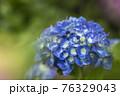 紫陽花 76329043