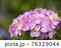 紫陽花 76329044