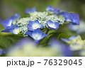 紫陽花 76329045