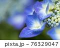 紫陽花 76329047