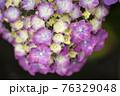 紫陽花 76329048