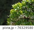 白いかわいい花を咲かせるツクモドウダンツツジ 76329580