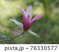 美しいモクレンの花 76330577